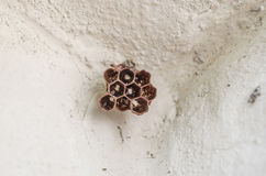 Hornet`s nest. Small hornet`s nest with baby hornet on cement wall royalty free stock photos