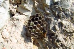 Hornet's nest Royalty Free Stock Photos