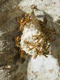 Hornet's nest in a tree Stock Image