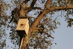 Hornet`s nest in the tree Stock Image