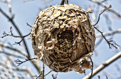 Hornet's Nest Royalty Free Stock Image