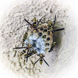 Hornet's nest, wasp larvae inside. Wasps build a nest and feed offspring Royalty Free Stock Image