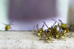 Hornet's nest with wasps Stock Photography