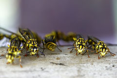 Hornet's nest with wasps Royalty Free Stock Photography