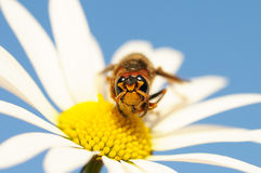 Hornet sitting on a flower Royalty Free Stock Photos