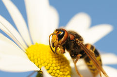 Hornet sitting on a flower Royalty Free Stock Images