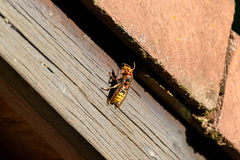 Hornet sitting in the sun on a roof top cleaning its antennas Royalty Free Stock Images