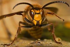 Hornet threatens royalty free stock photography