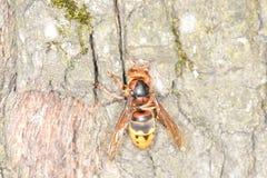 Hornet on tree bark. Hornet tree bark , on tree bark Royalty Free Stock Image