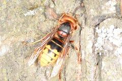 Hornet on tree bark. Hornet tree bark  , on tree bark Royalty Free Stock Photo
