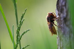 Hornet (vespa crabo) Royalty Free Stock Photos