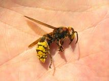 Hornet (Vespa Crabro) Stock Photo