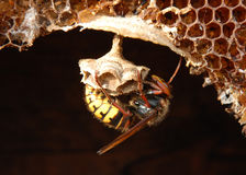 Hornet (Vespa crabro) at a nest. Royalty Free Stock Photos