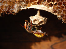 Hornet (Vespa crabro) at a nest. royalty free stock images
