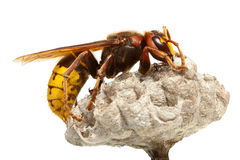 Hornet on vespiary. Macro of hornet (Vespa crabro) sitting on vespiary isolated on white Royalty Free Stock Images