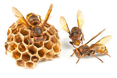 Hornet and wasp Stock Photography