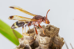 Hornet, or wasp on the nest, close up, hanging on the Crown of t Royalty Free Stock Photos