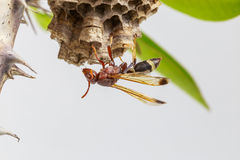 Hornet, or wasp on the nest, close up, hanging on the tree. Royalty Free Stock Image