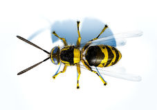 Hornet wasp on white surface viewed from the top. Royalty Free Stock Image