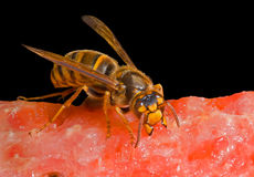 Hornet on watermelon 3 royalty free stock photography