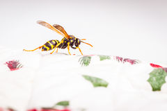 Hornet on a white tablecloth Royalty Free Stock Photo