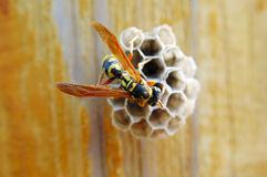 Hornet With Honeycomb Stock Image