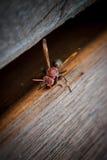 Hornet on a wood table stock photos