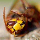 Hornet on a wooden bark Stock Photography