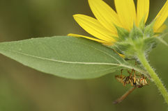 Hornet on a yellow flower.  stock images