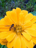 Hornet on zinnias Royalty Free Stock Photography