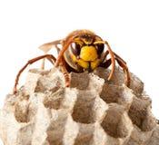hornets φωλιά Στοκ Εικόνες