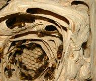 hornets Στοκ Εικόνα