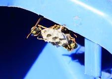 Hornets Stock Image
