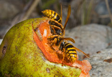 Hornets 1 Royalty Free Stock Images