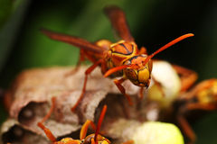 The Hornets at home hard nesting Stock Photography