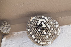 Hornets nest Royalty Free Stock Image