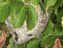 Hornets nest in the leaves of tree Royalty Free Stock Photography