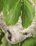 Hornets nest in the leaves of tree Royalty Free Stock Photos
