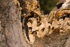 Hornets nesting in tree stump royalty free stock photos