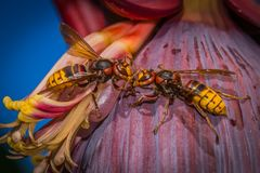Hornets are in love or fighting? stock photos