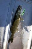 Hornhautfleckspieß lebendig in der Unterseite des Bootes Stockfotos