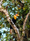 Hornill in the rainforest. Rhinoceros Hornbill resting on a tree next to a jungle river stock photo
