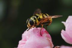 Hornisse auf einem rosa stieg Stockbilder