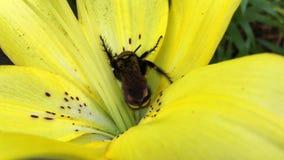 Hornisse auf gelber Lilie stock video