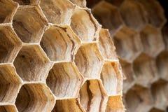 Hornisse (crabo de Vespa) Image libre de droits