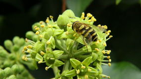 Hornisse, die Nektar und Blütenstaub - Vespa crabro sammelt Lizenzfreie Stockbilder