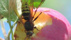 Hornisse isst roten Apfel stock video