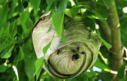 Hornisse-Nest lizenzfreie stockfotografie