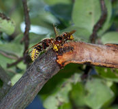 hornissen Stockbilder
