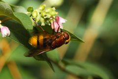 Hornissennachahmer hoverfly Stockfotografie
